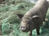le-cochon-de-gaza-photo-3