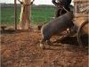 le-cochon-de-gaza-photo-6